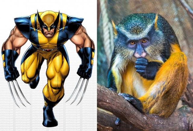 Wolverine egy majom