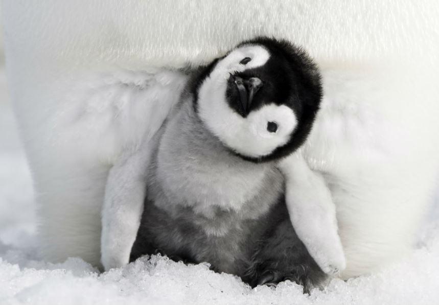 pingvinek vadorlasa 2 1